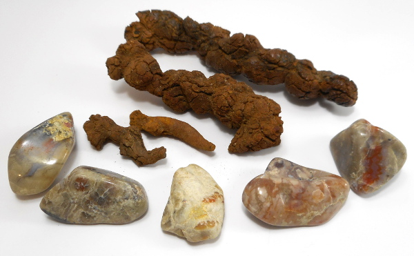 Coprolite ( Fossil Dung )