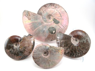 Opalized Ammonites