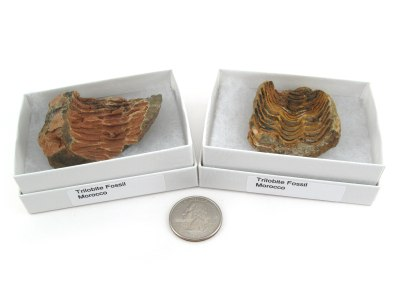 Trilobite Fossil, Large, Gift Box - 5 Pieces