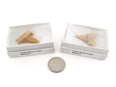 Shark Tooth Fossil, Medium, Gift Box - 5 Pieces