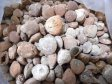 Brachiopod Fossil, Style 2, Bulk - 10, 50 or 100 Pounds